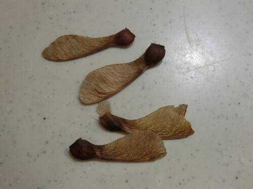 カエデの種から発芽を目指す