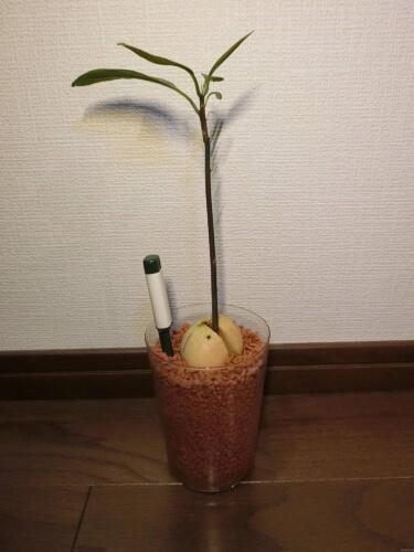 【アボカド栽培記録】190414