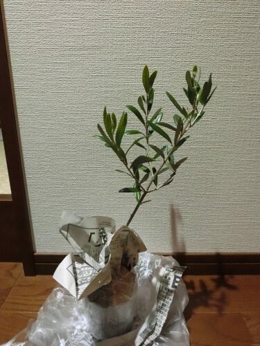 Olive190501