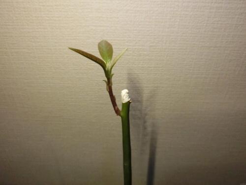 【アボカド栽培記録】190430