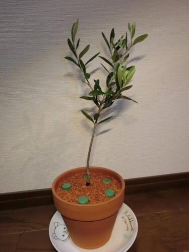【オリーブ栽培記録】190501