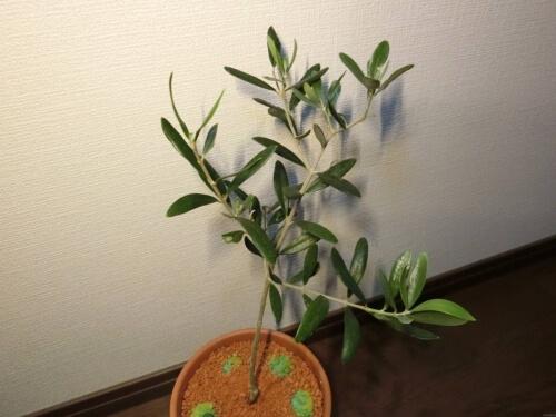 【オリーブ栽培記録】190527