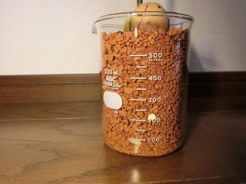 【アボカド栽培記録】190602 4号鉢割れで植え替え