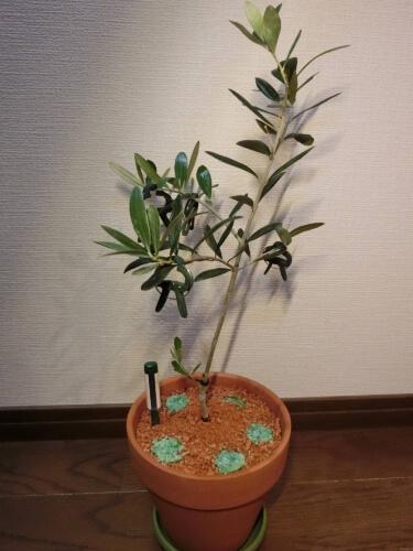 【オリーブ鉢植え栽培記録】190608