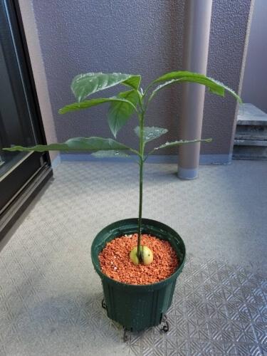 スリット鉢へアボカドを植え替え(ベランダ栽培へ)