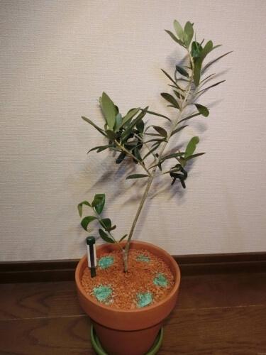【オリーブ栽培記録】190625