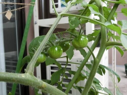 【トマト栽培記録】190721 花がドンドン咲いていく!!