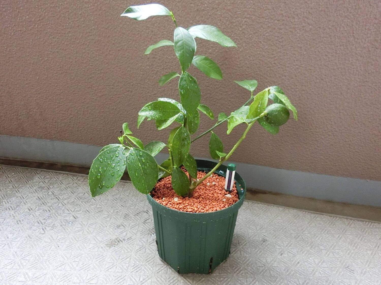 【レモン栽培記録】190804 スリット鉢に植え替え