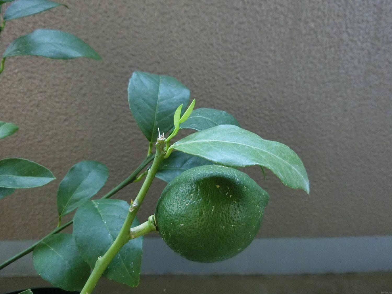 レモンの新芽