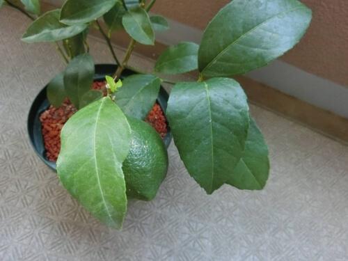 レモン果実のある枝と無い枝の葉の色