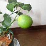 【レモン栽培記録】191216 レモンが色づいてきた